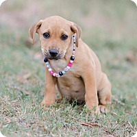 Labrador Retriever Mix Puppy for adoption in Seneca, South Carolina - Gene $250
