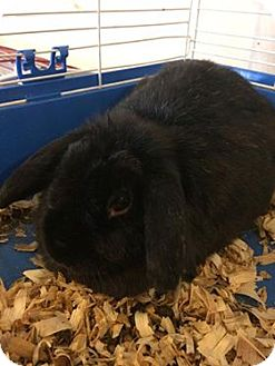 Lop-Eared Mix for adoption in Broadway, New Jersey - Queenie