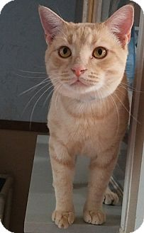 Domestic Shorthair Cat for adoption in Dallas, Texas - FROSTED FLAKES
