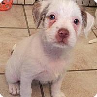 Pit Bull Terrier/Jack Russell Terrier Mix Puppy for adoption in Crestline, California - Carlee