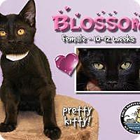Adopt A Pet :: Blossom - Davenport, IA