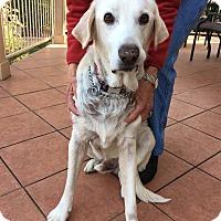 Adopt A Pet :: Sam - Austin, TX