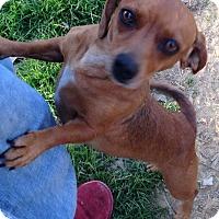 Adopt A Pet :: Biscuit - E. Greenwhich, RI