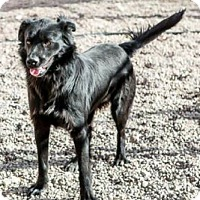 Adopt A Pet :: Black Bear - Fort Collins, CO