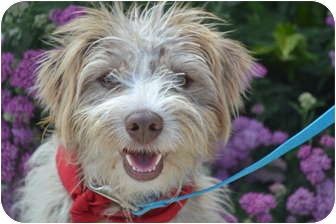 german wirehaired terrier arthur adopted dog los angeles ca terrier unknown 3018