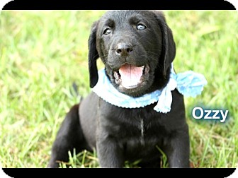 Labrador Retriever/Bloodhound Mix Puppy for adoption in Cranford, New Jersey - Black Lab Mix Puppies