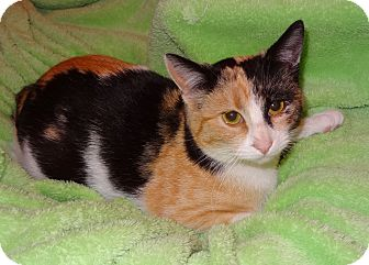 Manx Cat for adoption in Bentonville, Arkansas - Patches