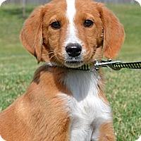 Adopt A Pet :: *Nia - PENDING - Westport, CT