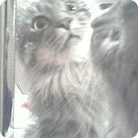 Adopt A Pet :: Bijou - Sterling Hgts, MI