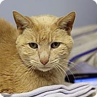 Adopt A Pet :: Brom Bones - Chicago, IL