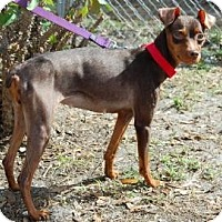 Adopt A Pet :: Sweetie Pie - Bradenton, FL