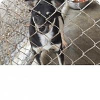 Adopt A Pet :: Doodle - Kendall, NY