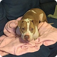 Pit Bull Terrier Mix Dog for adoption in Troy, Illinois - Sloan FOSTERED (Sarah)