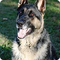 Adopt A Pet :: Sherlock - Mt. Airy, MD