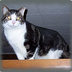 Photo 2 - Domestic Shorthair Cat for adoption in Brookville, Indiana - Sergeant