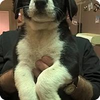 Adopt A Pet :: Shining - Kyle, TX