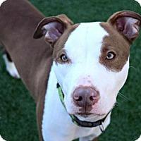 Adopt A Pet :: Cesar - Elizabethtown, PA