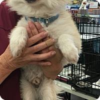 Adopt A Pet :: Bear - Tucson, AZ