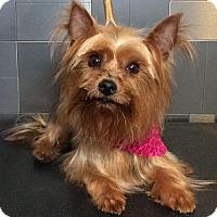 Adopt A Pet :: Trista - McKinney, TX