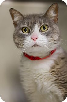 Domestic Shorthair Cat for adoption in Grayslake, Illinois - Escada