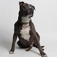 American Staffordshire Terrier Mix Dog for adoption in Santa Paula, California - Cash