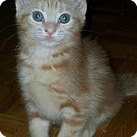 Adopt A Pet :: Amadeus - Sunderland, ON