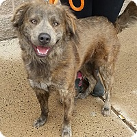 Australian Shepherd/Chow Chow Mix Dog for adoption in North Haven, Connecticut - Fozzie