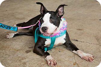 Boxer/Terrier (Unknown Type, Medium) Mix Dog for adoption in Lake Jackson, Texas - Motley