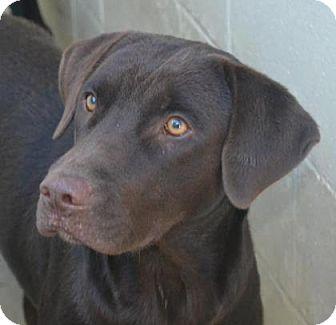 Labrador Retriever Mix Dog for adoption in Chester Springs, Pennsylvania - Delphinia