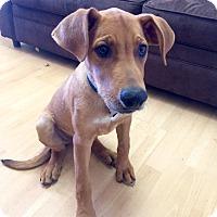 Adopt A Pet :: William in CT - Manchester, CT