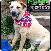 Great Pyrenees/Australian Cattle Dog Mix Dog for adoption in Maumelle, Arkansas - Rocky (Rock) - Foster / 2016