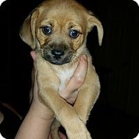Adopt A Pet :: Rolo - Grass Valley, CA