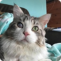Maine Coon Cat for adoption in Absecon, New Jersey - Stirling