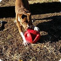 Adopt A Pet :: Faye - St. Charles, MO