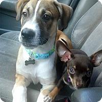 Adopt A Pet :: Trixie - Santa Monica, CA