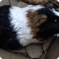 Adopt A Pet :: *Urgent* Luna - Fullerton, CA