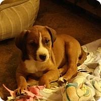 Adopt A Pet :: Callie - Lancaster, CA