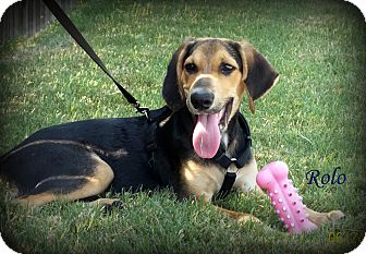 Foxhound/Labrador Retriever Mix Puppy for adoption in Glenpool, Oklahoma - Rolo