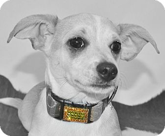 Chihuahua/Dachshund Mix Puppy for adoption in Bridgeton, Missouri - Sammy