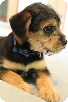 Yorkie, Yorkshire Terrier/Schnauzer (Standard) Mix Puppy for adoption in Hagerstown, Maryland - Hollywood