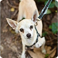 Adopt A Pet :: Ashton - Sherman Oaks, CA