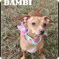 Dachshund/Chihuahua Mix Dog for adoption in Houston, Texas - Bambi