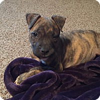 Adopt A Pet :: Baby Chloe - Phoenxville, PA