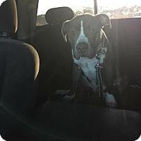 Adopt A Pet :: Riot - Algonquin, IL