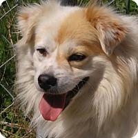 Adopt A Pet :: Snowball - Spring Valley, NY