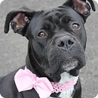 Adopt A Pet :: HARMONY - Clayton, NJ