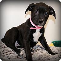 Adopt A Pet :: Cora - Glastonbury, CT