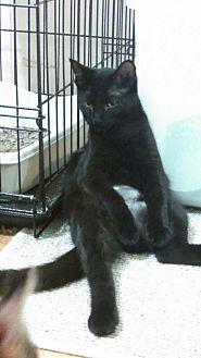 Domestic Shorthair Kitten for adoption in St Paul, Minnesota - Sasha