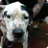 Great Dane Mix Dog for adoption in Atlanta, Georgia - TYSON