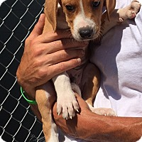 Adopt A Pet :: Queso - Hagerstown, MD